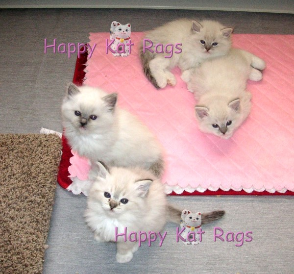 Available Ragdoll Kittens | HappyKatRags